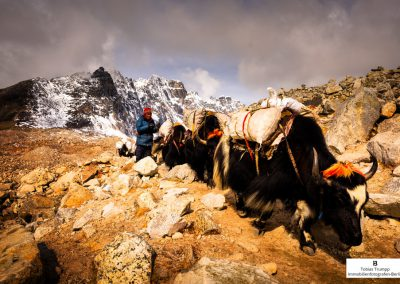 yaks carrying equipment to everest base camp