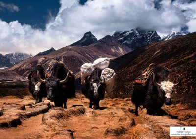Yaks carrying equipment
